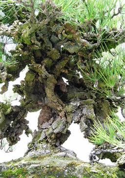Nishikimatsu(Japanese brocade pine)