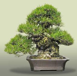 Kuromatsu(Japanese black pine)