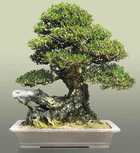 Kuromatsu(Japanese black pine)「Kotobuki」