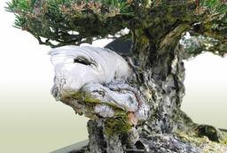 Trunk of Kuromatsu(Japanese black pine)「Kotobuki」