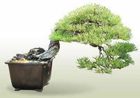 Akamatsu(Japanese red pine)