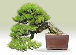 Kuromatsu(Japanese black pine) Cascade-style