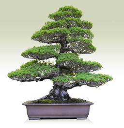 Goyomatsu(Japanese white Pine) (Ginyatsufusa)