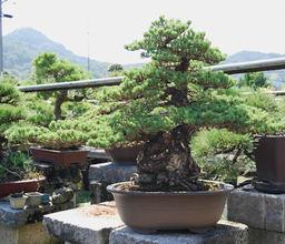 Goyomatsu(Japanese white Pine) (Ginyatsufusa・moyogi)