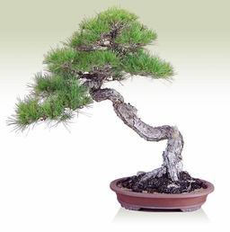 Kuromatsu(Japanese black pine) (Bunjin)