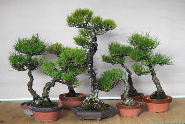 http://bonsai.shikoku-np.co.jp/en/nyumon/27-1.jpg