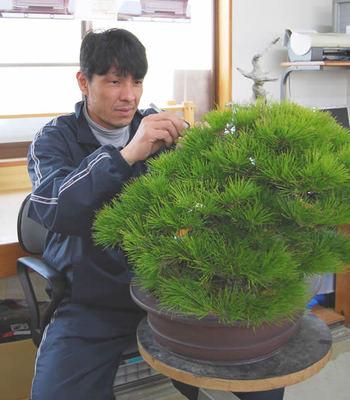 Hiramatsu works on Hasukashi (thinning out the needles) of Kuromatsu (Japanese black pine) which he adapted in Shunshoen bonsai garden in Takamatsu's Kokubunji town.