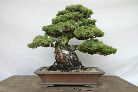 Goyomatsu (Japanese white pine) after transplanting