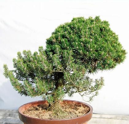 Mother tree of Kotobuki Yatsufusa named