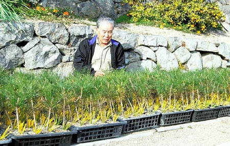 Ayada looking the seedling grafted this year in Ryoshoen bonsai garden in Takamatsu's Kokubunji town