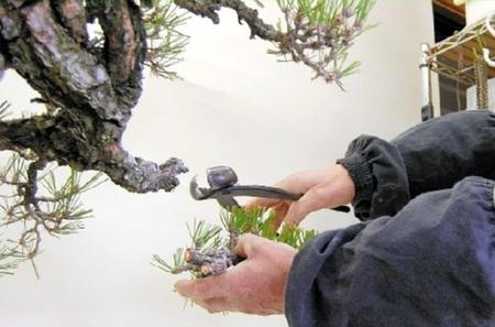 The work to cut off the unnecessary branches (at Ideue Kikkoen bonsai garden in Takamatsu's Kinashi town)
