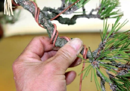 He wires branches checking the position of each branch. (at Ideue Kikkoen bonsai garden in Takamatsu's Kinashi town)
