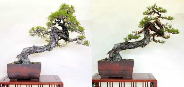 Kuromatu (Japanese black pine) before wiring (left) and after wiring (right)