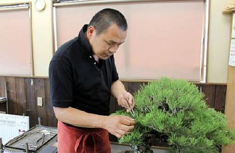 Yoichi Nakanishi cut the buds at Nakanishi Chinshoen bonsai garden in Takamatsu's Kinashi town.