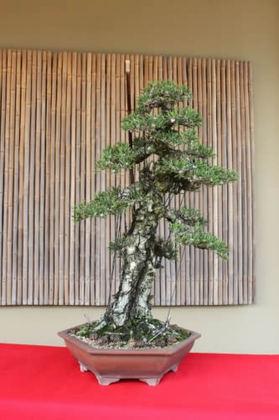 """Kuromatsu (Japanese black pine) """"Kotobuki"""" which Nakanishi is adapting by the tools"""