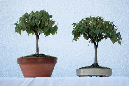 Japanese zelkova in unglazed pot (left) and glazed one