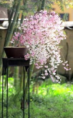 A Bloomed Weeping Cherry