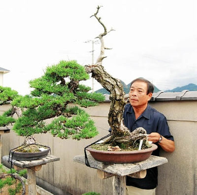 Hiramatsu fix a large bonsai to a  stand in Seijuen bonsai garden in Takamatsu's Kokubunji town.