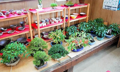 It is better to move Shohin and fruits indoor.