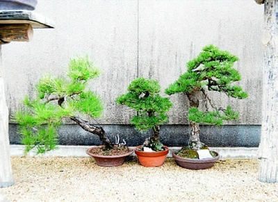 Some bonsai pots are moved to alongside the fence to shelter the strong wind.