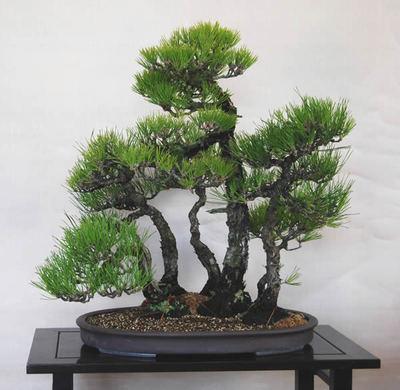 Completed Yoseue at Seijuen bonsai garden in Takamatsu's Kokubunji town