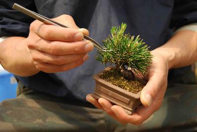6 centimeters-height Kuromatsu, as small as a hand