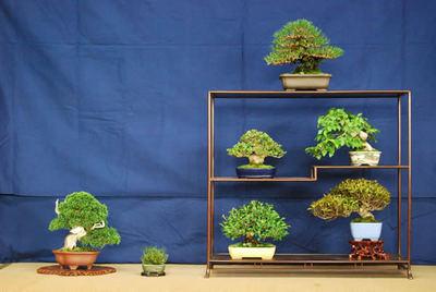 7 pots display of shohin at Shunshoen bonsai garden in Takamatsu's Kokubunji town