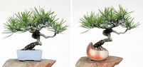 Transplant of Shohin: Care For Sensitive Trunk Surface