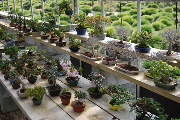 ''Shohin'' small bonsai pieces line up on shelves at Hiramatsu Shunshoen.