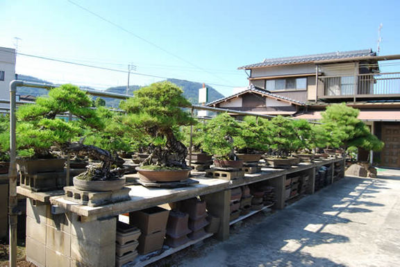 Bonsai trees fill shelves at Ideue Kikkoen garden.