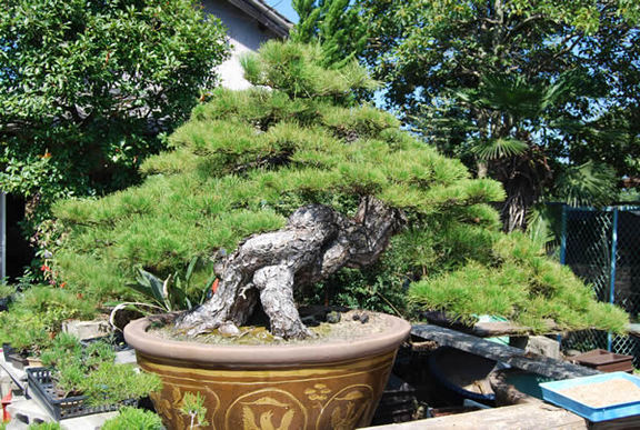 A 200-year-old kuromatsu (Japanese black pine) tree in a pot. It measures about 125 centimeters in height and about 250 cm in width.