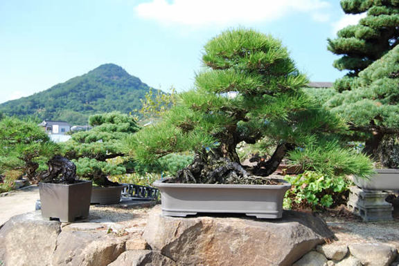 A 250-year-old kuromatsu (Japanese black pine) tree in a vessel. It measures about 82 centimeters high and about 130 cm wide.