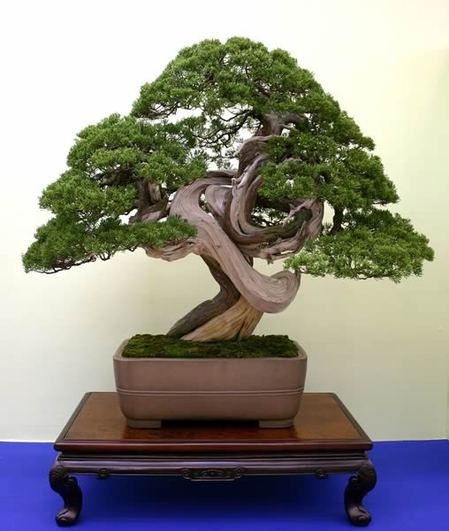 Shinpaku(Chinese Junuiper) won the first prize, the Prime Minister Award, in the 27th Nippon Bonsai Taikan-Ten Exhibition