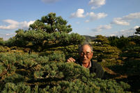 Goyomatsu (Japanese white pine)(2)Beyond the century, Enjoy seeing the Penjing from Zashiki (Japanese style room)