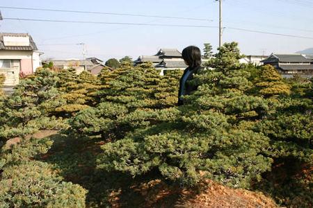 Goyomatsu (Japanese white pine) over 100 years ol