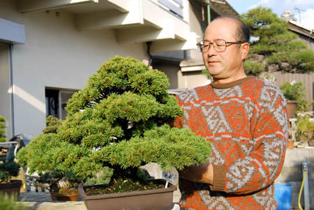 Yamaji Hiroyoshi removes old leaves of Goyomatsu (Japanese white pine) at Sanshoen bonsai garden in Takamatsu's Kokubunji town.