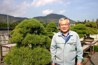Kuromatsu (Japanese black pine)(1)Attractiveness and Characteristic Negligence of Mekiri (bud trimming) ruins the shape