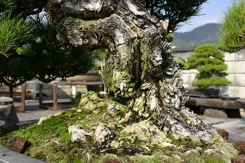 Beautifully split Mikihada (trunk surface) and Nebari (a condition of roots of a tree visible out of the surface of dirt)