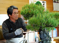Kuromatsu (Japanese black pine)(3)Grow by Misho (Bonsai tree grown from seed) Get dignity over the years