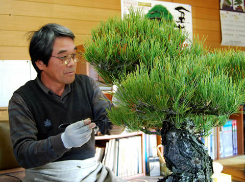Mashima Takeru taking care of his Kuromatsu (Japanese black pine)