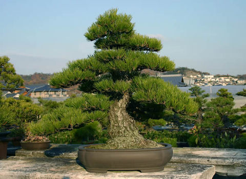 45-year-old Kuromatsu (Japanese black pine) grown