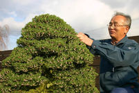 Kuromatsu (Japanese black pine)New variety 'Kotobuki,' Popular by its beauty form