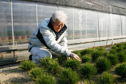 Tanimoto Yoshikazu taking care of Yumenishiki inhis field in Seijuen Bonsai Garden in Takamatsu's Kokubunji town