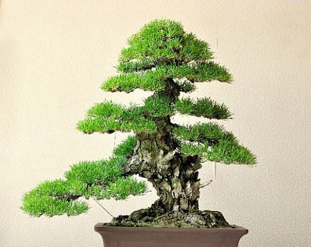 Mashima's Kuromatsu (Japanese black pine) won the silver prize