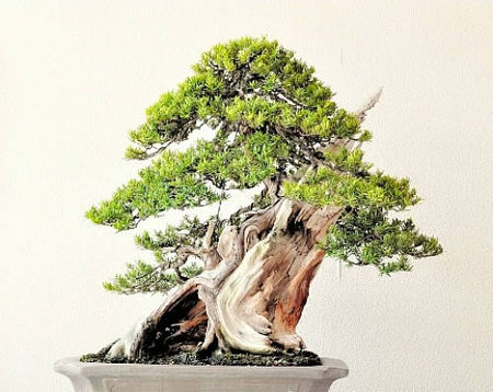 Yamaji's Ichii (Japanese yew) won the silver prize