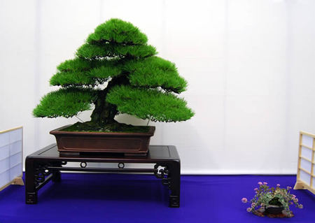 Kuromatsu (Japanese black tree) given the Award of the Minister of Education, Culture, Sports, Science and Technology