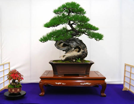 Akamatsu (Japanese red pine) given the Award of Minister of the Environment