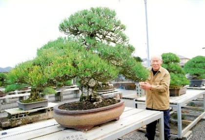 Fujiyoshi Kandaka is taking care of the Japanese black pine belonged to Okuma Shigenobu.
