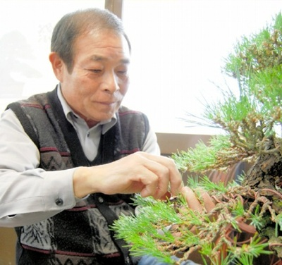 Hiramatsu, wiring the Japanese black pine at Seijuen bonsai garden in Takamatsu's Kokubunji town