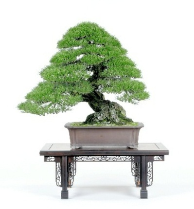 The Japanese black pine which received the ASPAC Takamatsu Honorary President Award